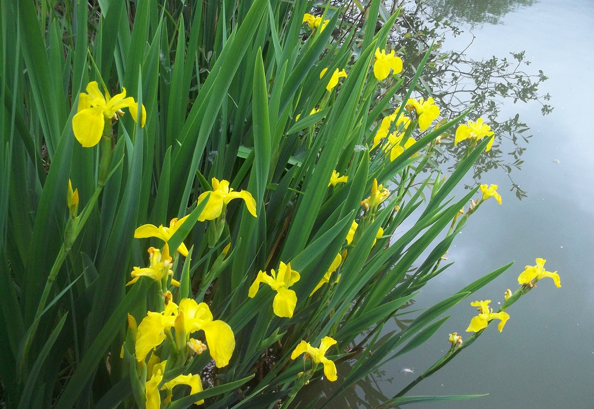 Invasive Species Yellow Flag Iris